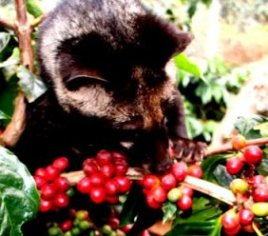 Luwak with Coffee (sources from a multiply internet)